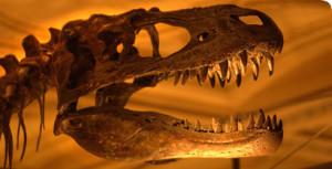 albertosaurus-skull_70040_1