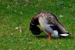"A mallard checking his ""junk"" in a park in Ottawa"